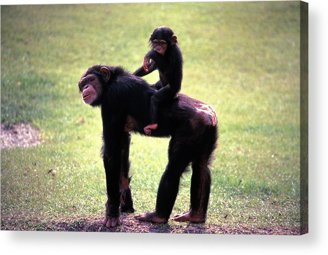 Chimpanzee Acrylic Print featuring the photograph Maybe Darwin Was Right by Carl Purcell