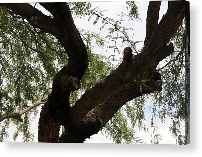 Mesquite Acrylic Print featuring the photograph Mesquite Tree by Bob Gardner