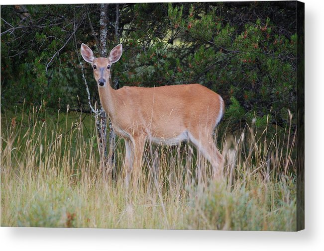 Deer Acrylic Print featuring the photograph Michigan Whitetail Doe by Jennifer Englehardt