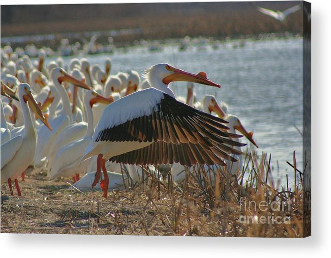 Pelicans Acrylic Print featuring the photograph Migrating Pelicans by Shari Morehead
