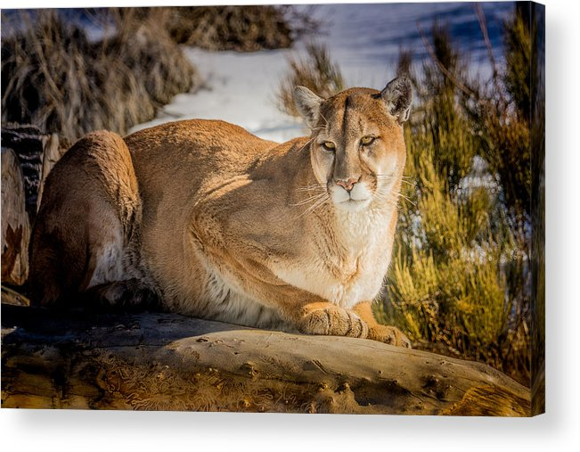 mountain Lion Acrylic Print featuring the photograph Milo At The Ark by Janis Knight