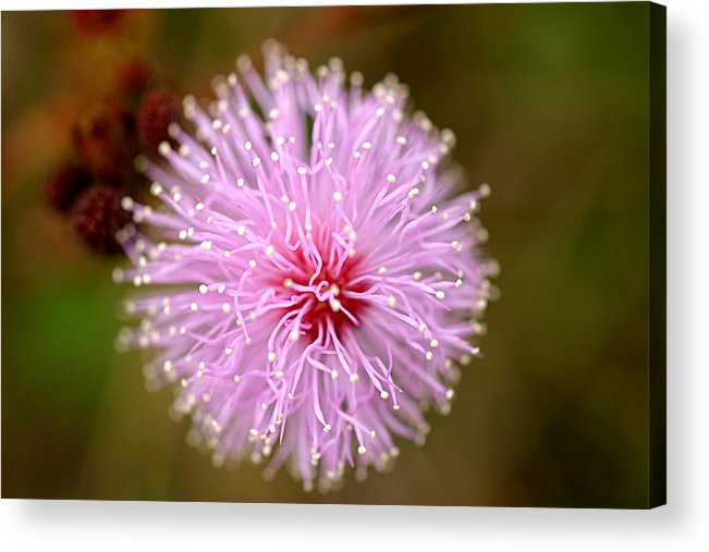 Landscape Acrylic Print featuring the photograph Mimosa Pudica Flower by Mark Mah