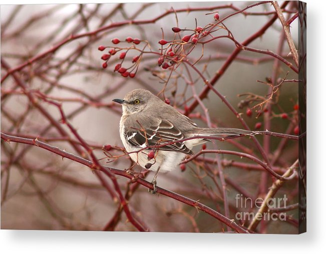 Mockingbird Acrylic Print featuring the photograph Mockingbird In Winter Rose Bush by Max Allen