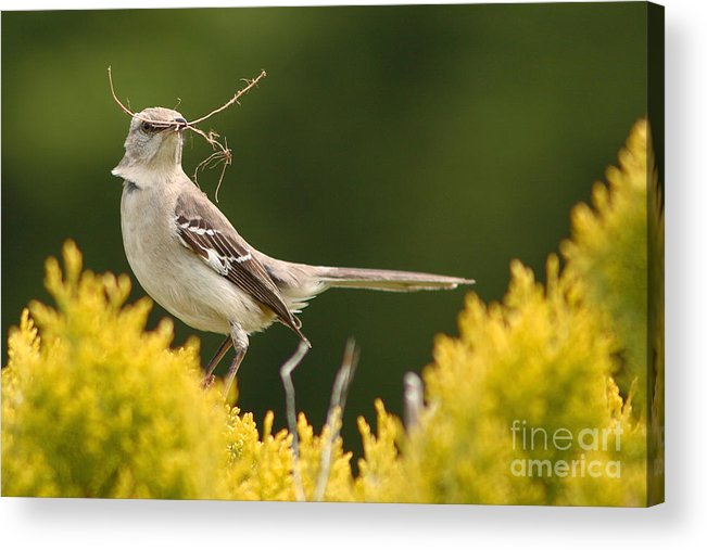 Mockingbird Acrylic Print featuring the photograph Mockingbird Perched With Nesting Material by Max Allen