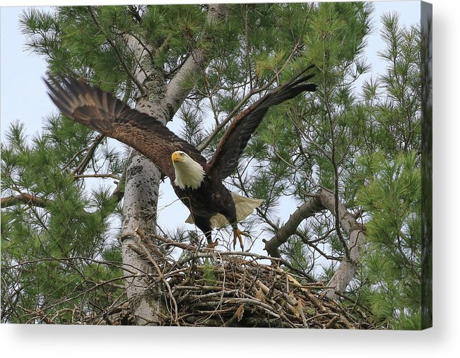 Eagles Acrylic Print featuring the photograph Mom Liftoff by Debbie Storie