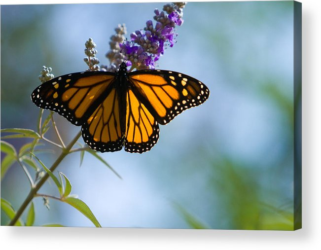 Butterfly Acrylic Print featuring the photograph Monarch Butterfly by Carl Jackson