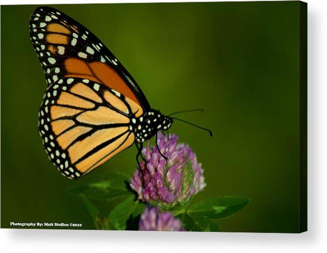 Butterfly Acrylic Print featuring the photograph Monarch Butterfly by Matt Steffen