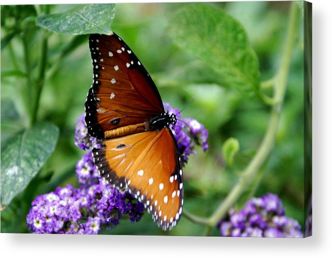 Botany Acrylic Print featuring the photograph Monarch Butterfly by Sonja Anderson