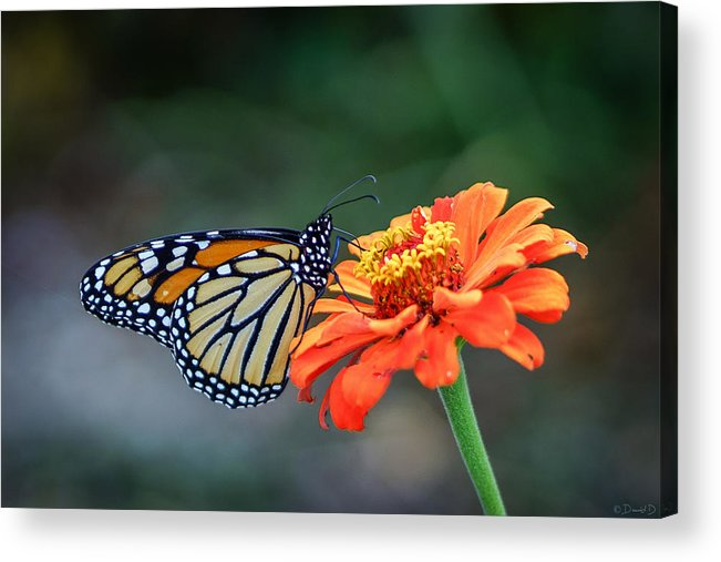 Butterfly Acrylic Print featuring the photograph Monarch by David Dedman