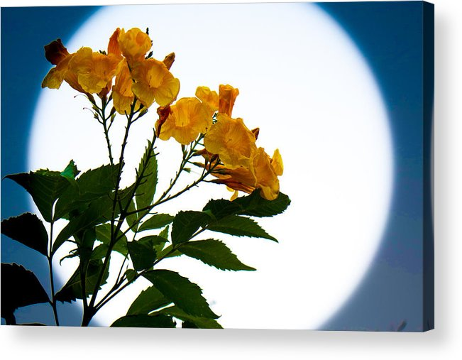 Flowers Acrylic Print featuring the photograph Moon Flowers by Marisela Mungia