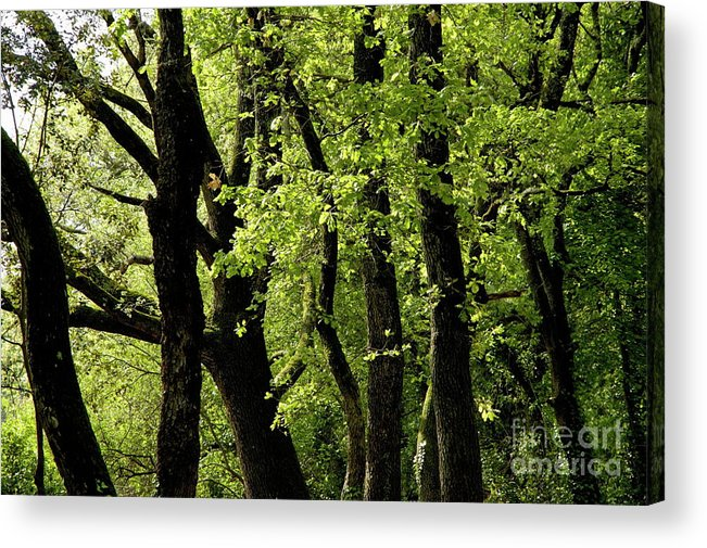 Ardeche Acrylic Print featuring the photograph Mossy Trees In A Late Afternoon Forest by Sami Sarkis