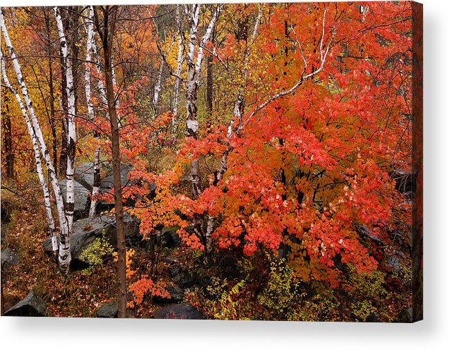 Birch Trees Acrylic Print featuring the photograph Mother Nature's Palette by Linda McRae