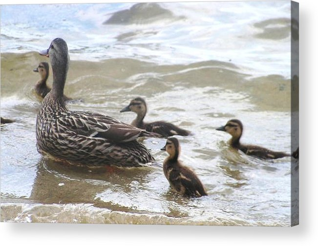 Ducks Acrylic Print featuring the photograph Motherly Love by Katina Cote