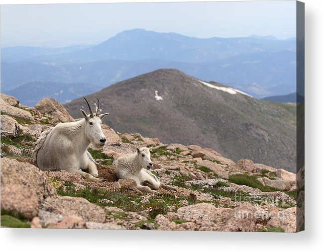 Mountain Goat Acrylic Print featuring the photograph Mountain Goat Mother And Kid In Mountain Home by Max Allen
