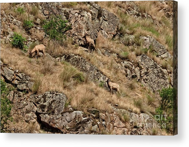 Sheep Acrylic Print featuring the photograph Mountain Sheep Hell Canyon by Robert Bales