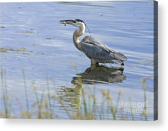 Heron Acrylic Print featuring the photograph My Late Afternoon Treat by Deborah Benoit