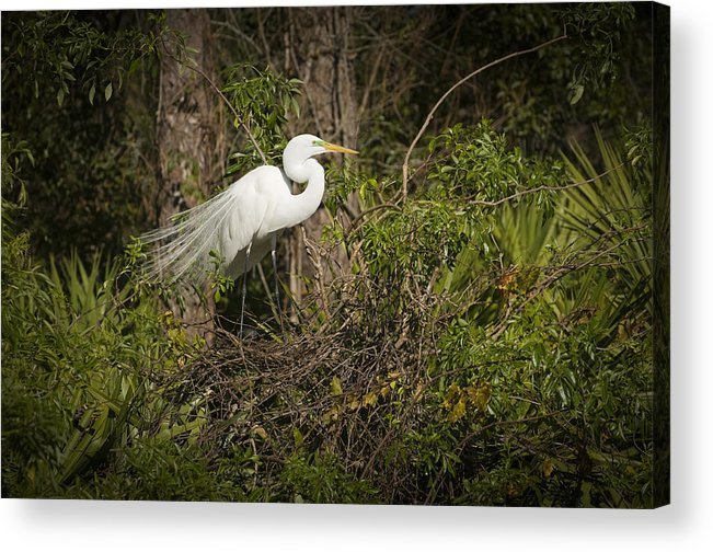 Bird Acrylic Print featuring the photograph Nesting Beauty by Chad Davis