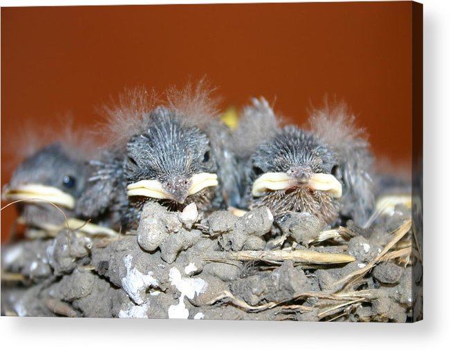 New Born Sparrow's Acrylic Print featuring the photograph New Fuzz by Kevin Dunham