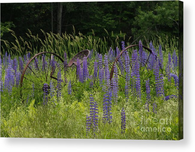 New England Acrylic Print featuring the photograph New Hampshire Lupines by Stan and Anne Foster