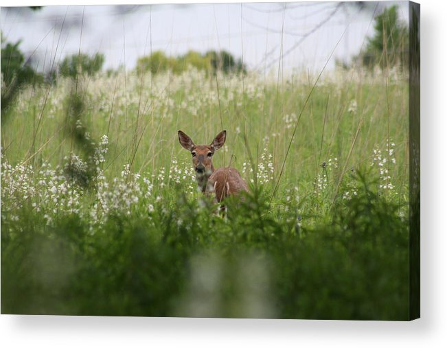 Deer Acrylic Print featuring the photograph No Turning Back by Eric Irion