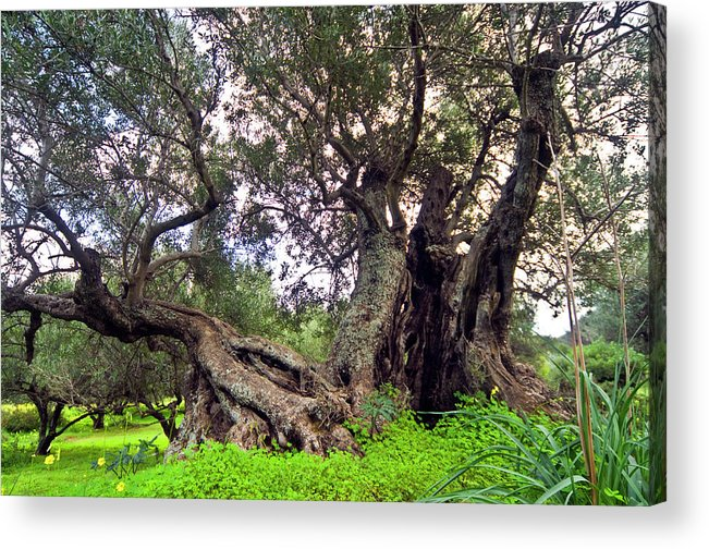 Old Olive Trees Acrylic Print featuring the photograph Old Olive Trees by Manolis Tsantakis