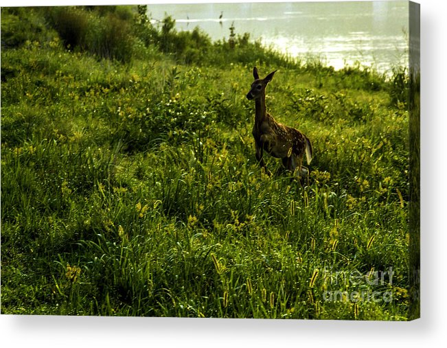 Deer Acrylic Print featuring the photograph Among The Golden Rod by Thomas Staff
