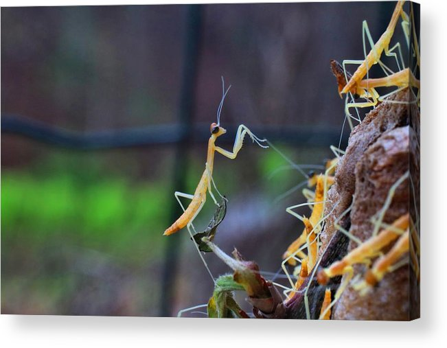Praying Mantises Acrylic Print featuring the photograph One In The Crowd by Kathryn Meyer