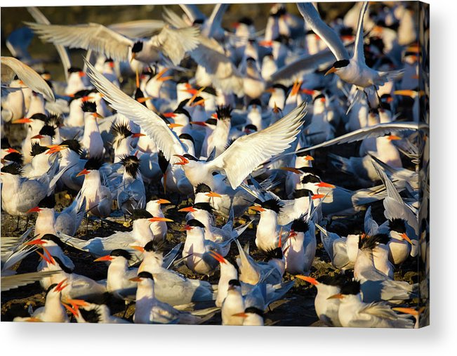 Tern Acrylic Print featuring the photograph Open Season by Brian Knott Photography