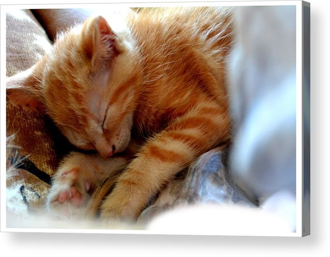Kitten Acrylic Print featuring the photograph Orange Kitten Sleeping In Silk And Satin by Reva Steenbergen