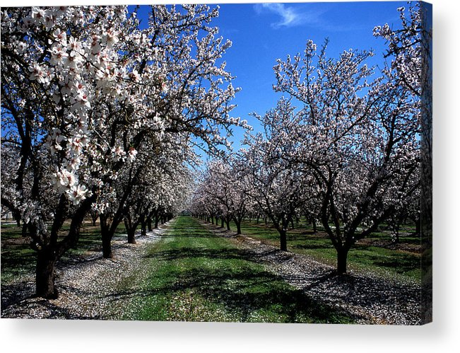 Trees Acrylic Print featuring the photograph Orchard Trees Blossoming by Kathy Yates