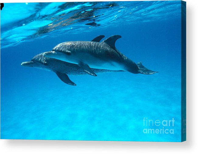 Animal Art Acrylic Print featuring the photograph Pair Of Spotted Dolphins by Ed Robinson - Printscapes