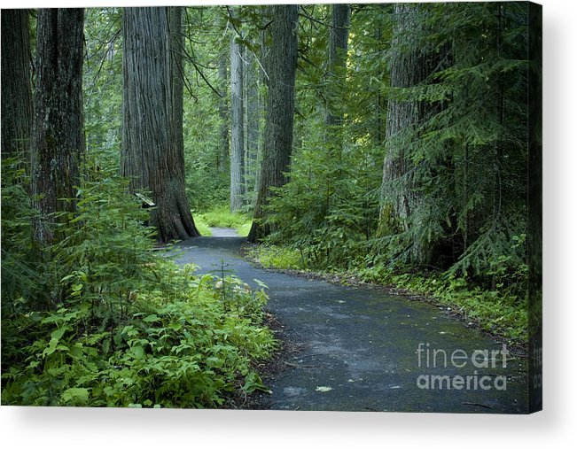 Grove Acrylic Print featuring the photograph Path Through The Cedars by Idaho Scenic Images Linda Lantzy