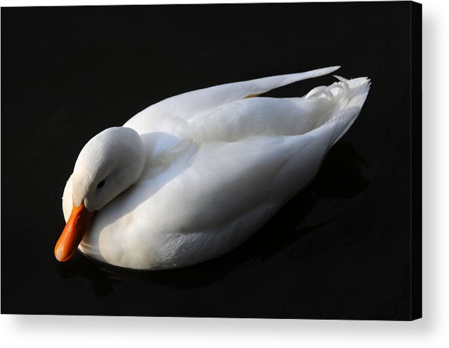 Bird Acrylic Print featuring the photograph Peace by Lawrence Christopher