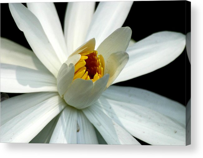 Flower Acrylic Print featuring the photograph Peace by Mark Mah