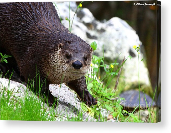 Otter Acrylic Print featuring the photograph Peering Otter by Barbara Bowen