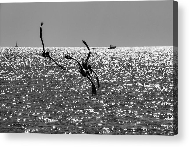 Pelican Acrylic Print featuring the photograph Pelicans Flying By - Black And White by Bob Slitzan