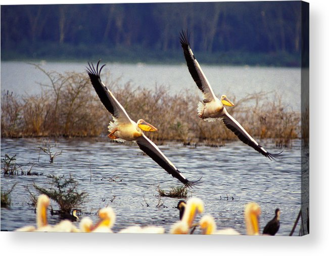 Birds Acrylic Print featuring the photograph Pelicans In Flight by Carl Purcell