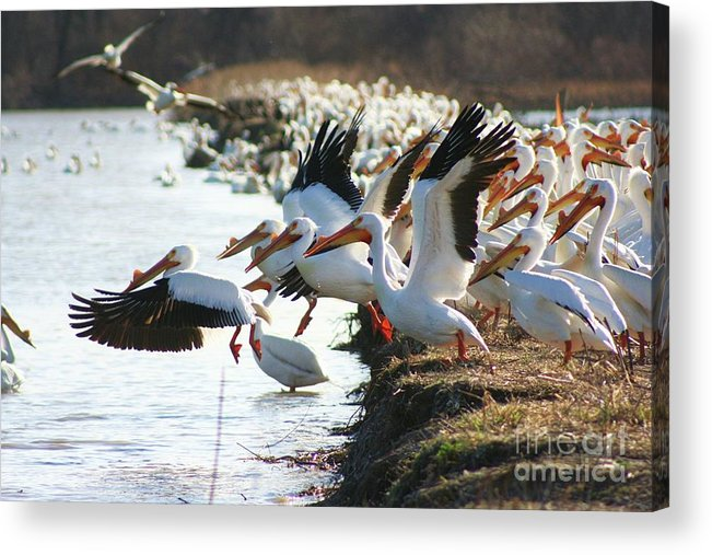 Pelicans Acrylic Print featuring the photograph Pelicans Leaving by Shari Morehead