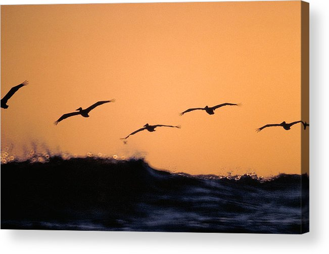 Pelicans Acrylic Print featuring the photograph Pelicans Over The Pacific by Michael Mogensen