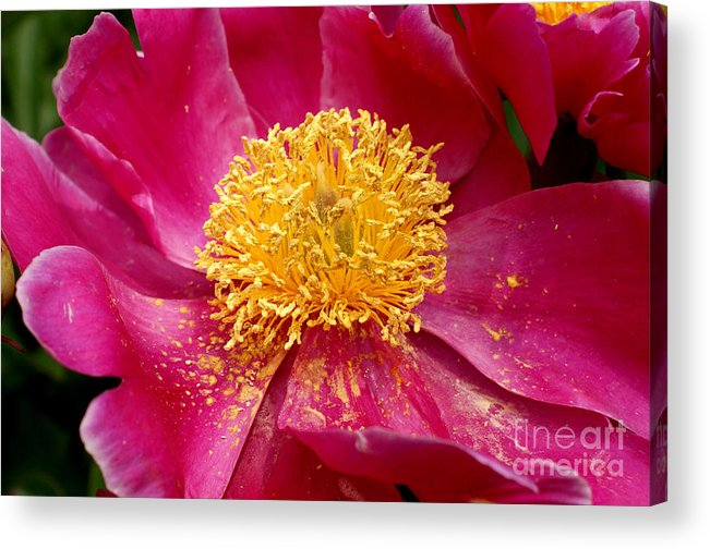 Pink Acrylic Print featuring the photograph Peony Abstract by Valerie Fuqua