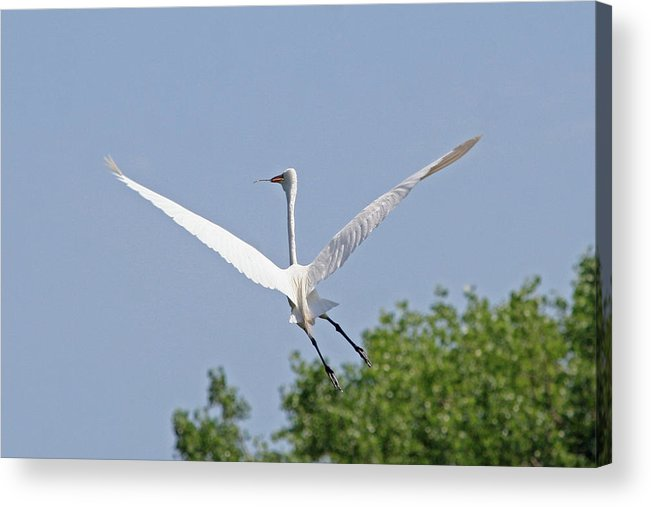 Egret Acrylic Print featuring the photograph Perfect V by Rachel Roushey