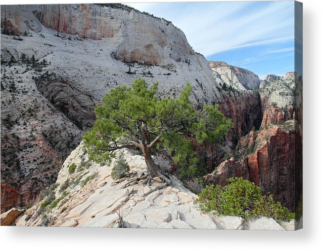 Zion Acrylic Print featuring the photograph Pine Tree On Top Of Angels Landing In Zion by Pierre Leclerc Photography