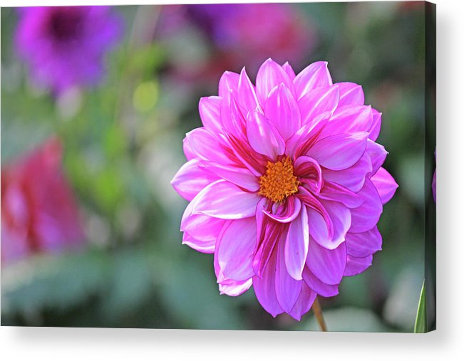 Becky Acrylic Print featuring the photograph Pink Beauty by Becky Lodes