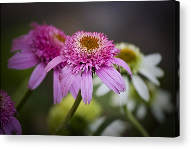 Pink Acrylic Print featuring the photograph Pink Double Delight Coneflower by Teresa Mucha