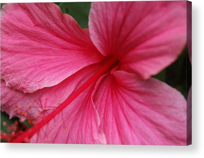 Pink Acrylic Print featuring the photograph Pink Hibiscus by Kathy Schumann