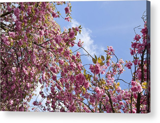 Pink Acrylic Print featuring the photograph Pink by Krista Corcoran Photography