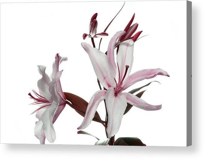 Pink Lily Acrylic Print featuring the photograph Pink Lily by Peter Dorrell