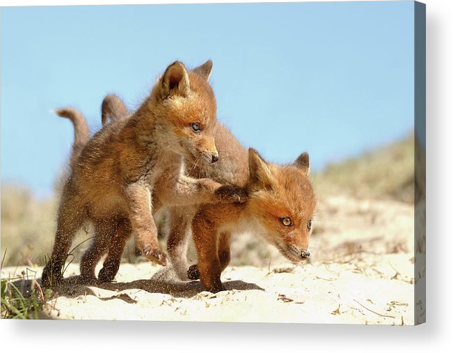 Fox Kit Acrylic Print featuring the photograph Playing Fox Kits by Roeselien Raimond