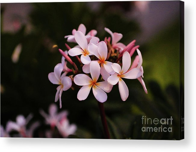 Plumeria Acrylic Print featuring the photograph Plumeria Flowers by Amber D Hathaway Photography