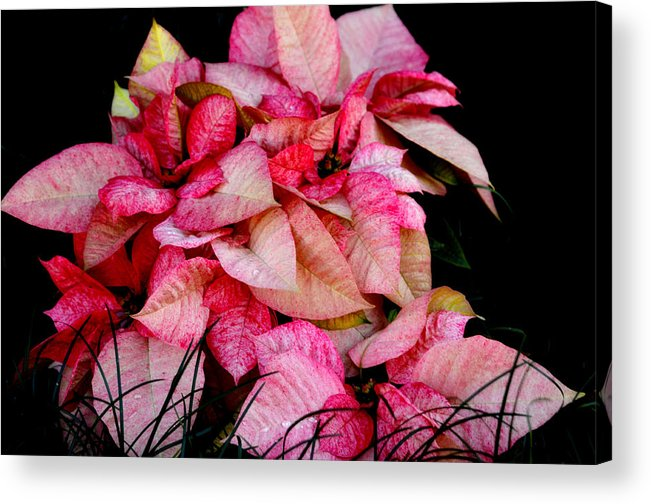Poinsettia Acrylic Print featuring the photograph Poinsettia by Lyle Huisken